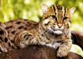Fishingcat.png